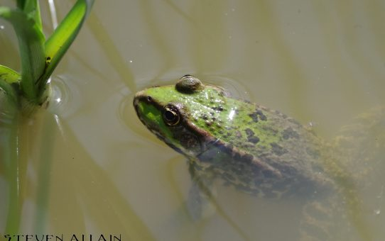 #SciFri: In search of the marsh frogs of south Essex