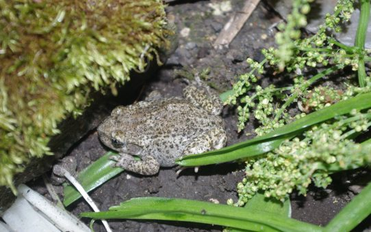 #SciFri: Midwife toads in the UK
